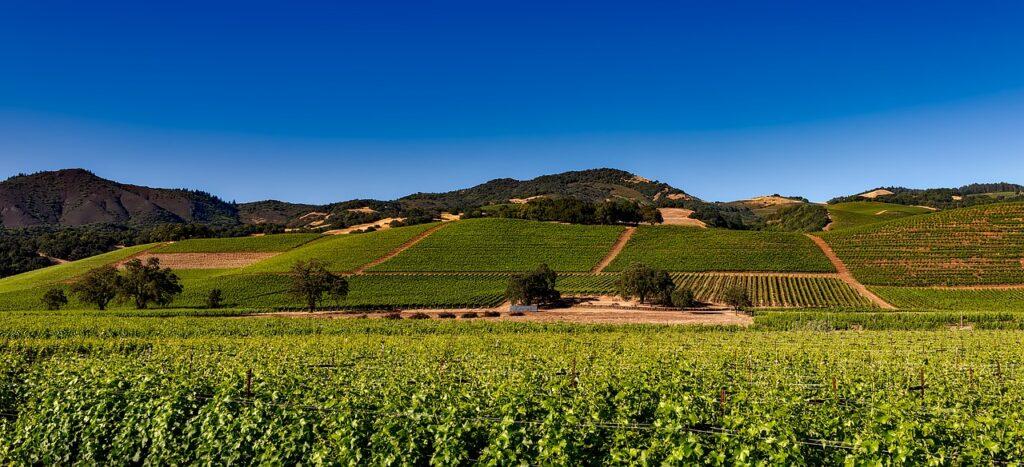 La meraviglia delle colline di Napa e Sonoma coltivate con numerosi vigneti ed olivi.